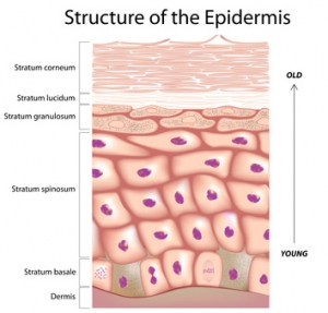 Epidermis of the skin, eps8